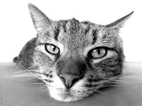 koty brytyjskie sprzedaż